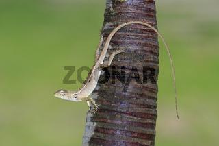 Gecko, (Gekkonidae), Mui Ne, Vietnam ,Asien