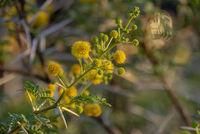 Blüte Kameldornbaum, Namibia