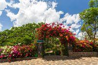 Bougainvillea flowers blooming in the garden