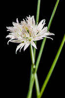 White chive blossom with green stems crossing