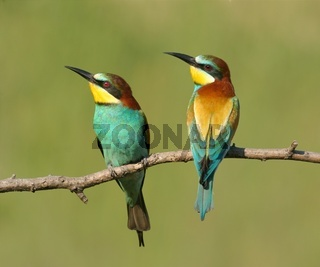 A pair of European bee-eaters perched on a twig
