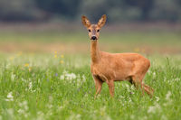 Roe deer doe looking to the camera on grass in summer