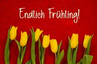 Yellow Tulip Flowers, Red Background, Endlich Fruehling Means Finally Spring