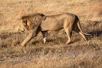 Löwenmännchen im Ngorongoro Krater