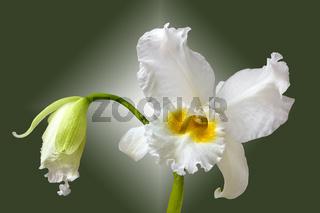 Orchidee Cattleya Eagle Eye