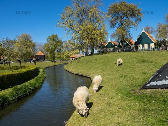 schafe in den niederlanden