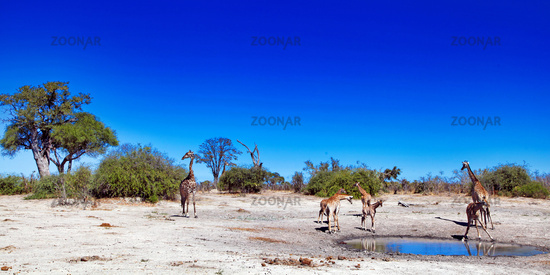Giraffen im Chobe Nationalpark, Savuti, Botswana; Giraffes at Chobe National Park, Botsuana; Giraffa camelopardalis