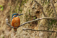 Male common kingfisher sitting on a root at vertical riverbank