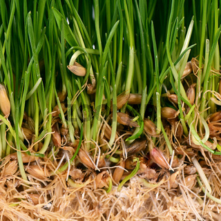 Green grass with soil close up