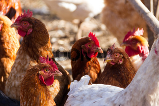 group of assorted chickens in the chicken coop with unfocused background