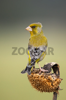 European greenfinch sitting on sunflower in autumn.