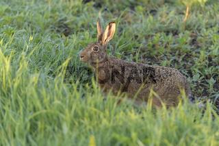 European brown hare