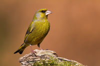 European greenfinch sitting on wood in autumn nature