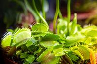 Venus flytrap carnivorous plant close-up view