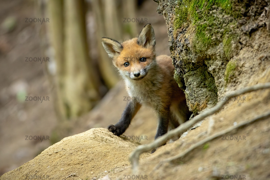Beautiful red fox cub standing near tree and smiling in spring forest