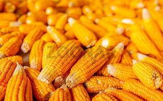 Raw sweet yellow corn, local market
