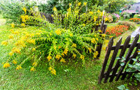 Yellow decorative flowers next the old wooden fence