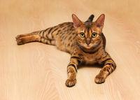 Katze von Bengalen.
