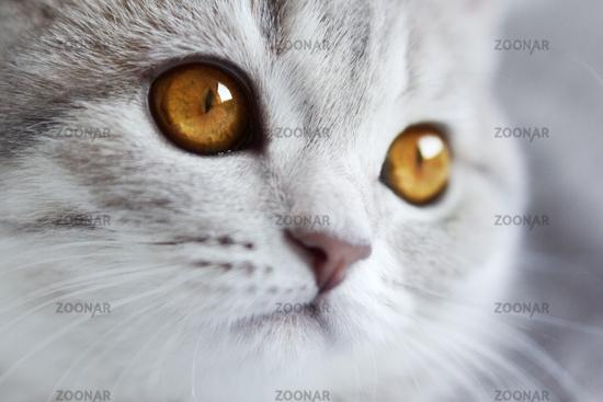 Kitten Scottish Straight on light background