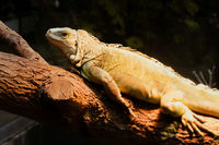 Green Iguana in tropical forest