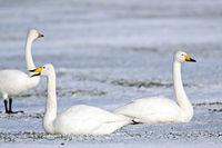 Singschwaene Altvoegel auf einer schneebedeckten Wiese