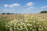 Kamille vor Getreidefeld