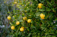 Bunches of fresh yellow ripe lemons hanging on tree branches close up background, sunny warm day, no people