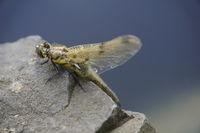 männlicher Vierfleck-Libelle (Libellula quadrimaculata) am Gartenteich