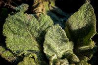Makro Aufnahme von Tautropfen auf einem haarigen grünen Blatt