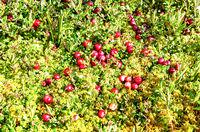 Wild cranberries growing in the moss