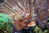 Antennen-Feuerfisch (Pterois antennata)