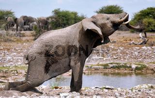 Elefant streckt sich, Etosha-Nationalpark, Namibia, (Loxodonta africana) | elephant, Etosha National Park, Namibia, (Loxodonta africana)