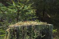 Trumpet lichen growing on a tree stump