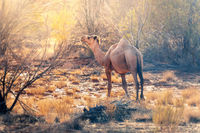 lonely camel in the australian outback