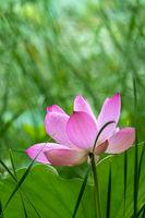 Blooming pink lotus flower  in summer