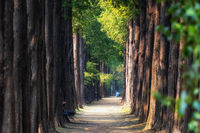 Metasequoia road in World Cup Park
