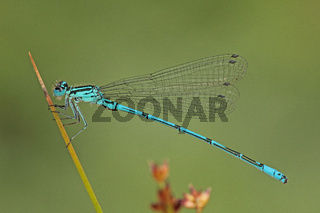 Azurjungfer (Coenagrion)