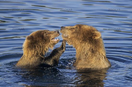 Grizzlybaerin  Jungtier spielen im Wasser - (Braunbaer) / Grizzly Bear sow  cub playing in water - (Grizzly - Brown Bear) / Ursus arctos - Ursus arctos (horribilis)
