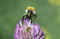 Langhornbienen bei der Pollensuche