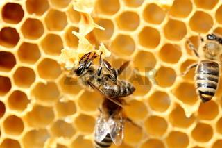 Honigbiene baut an der Wabe