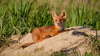 Calm red fox cub lying down on a sand near its den in spring nature at sunset.