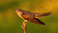 Proud common cuckoo displaying at sunrise in summer nature