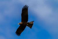 Bird Eagle Kite