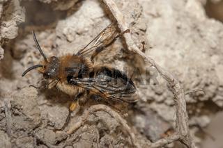 Sandbiene 'Andrena spec.'