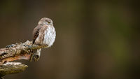 Little eurasian pygmy owl captured from profile while resting on the old stump