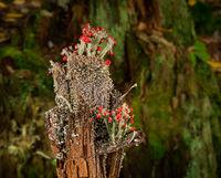 Cladonia cristatella or British Soldiers Lichen or algae