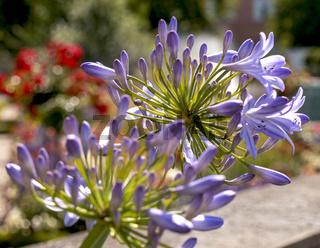 Agapanthus praecox - Schmucklilie, blaue Schmucklilie, Nahaufnahme