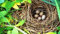 Wagtail nest on the seaside meadow