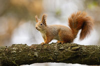 Cute red squirrel sitting on branch in autumn nature.