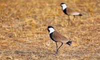 Spornkiebitz im Murchison Falls Nationalpark Uganda (Vanellus spinosus) | Spur-winged Lapwing, Murchison Falls National Park Uganda (Vanellus spinosus)
